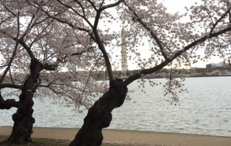 Cherry Blossom Festival takes the spotlight in D.C.