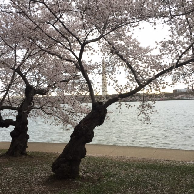 Pictured is the Cherry blossoms last year in full bloom along the basin.